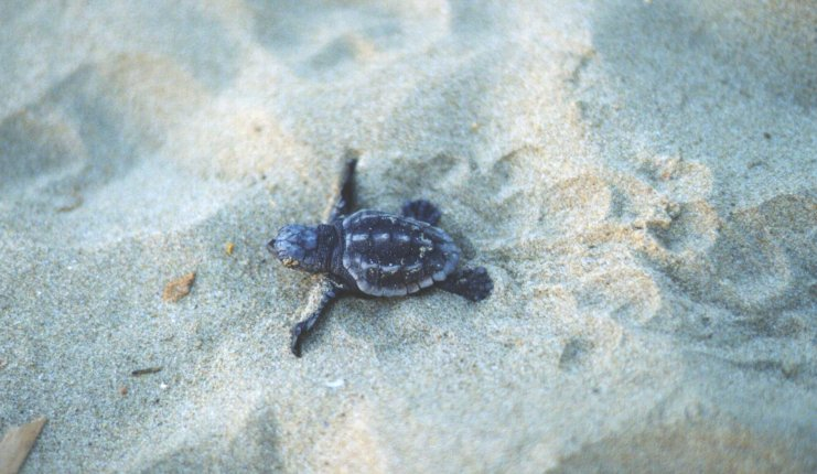 The Loggerhead Sea Turtle, Caretta-caretta the only marine turtle nesting in Greece and the Mediterranean. Zakynthos is has the largest hatchery left in the Mediterranean where about 2,000 nests are laid annually. ZAKYNTHOS PHOTO GALLERY - KARETTA KARETTA